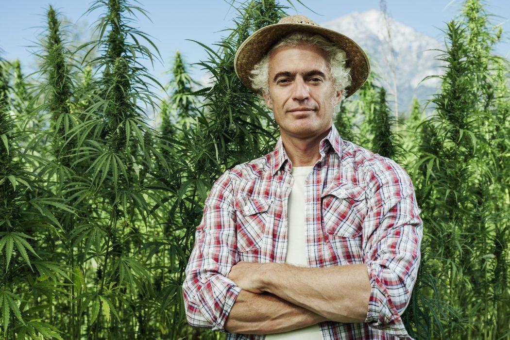 Farmer foran en masse hamp buske til produktion af cannabis til tøj og medicinsk olie